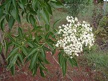 Sambuccus australis1-SABUGUEIRO.jpg