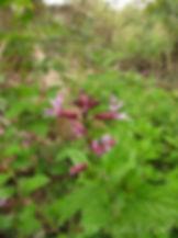 racemosa.JPG