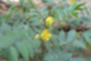 cassia_occidentalis,.jpg