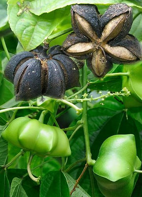 amendoin dos incas.jpg