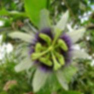 flor careluea.jpg