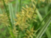 Cyperus-esculentus.jpg
