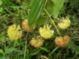 guianensis.jpg