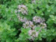 origanum-vulgare-2.jpg