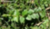 calophylla.JPG