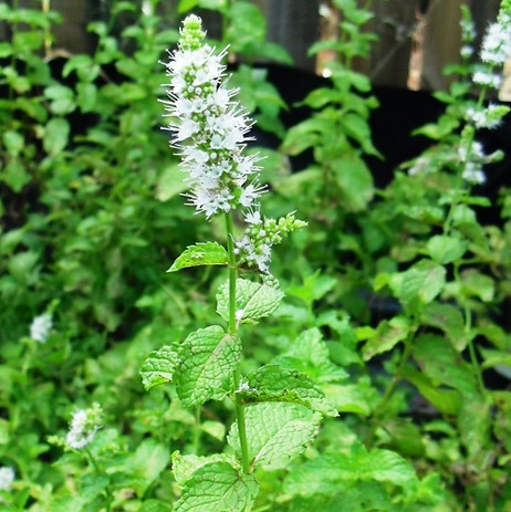 spicata flor.png