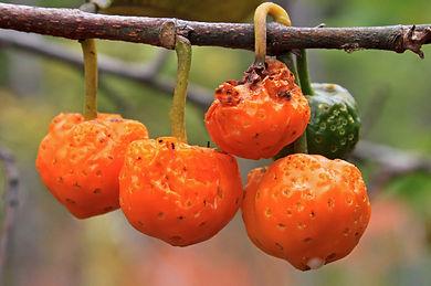 fruto cadela.jpg