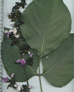 pau pereira folhas.jpg