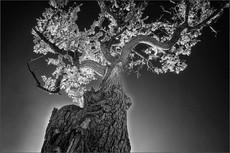 Coniston Tree