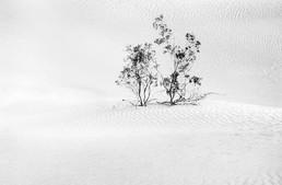 Dune & Shrub, Death Valley, 2