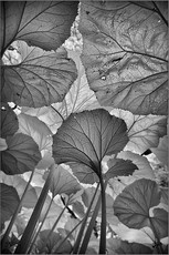 Janet's Foss Leaves