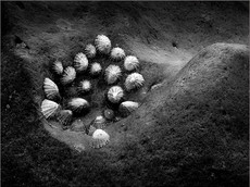 Limpets, Cow Gap
