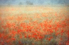 Poppies, Spain