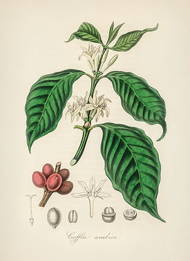 Coffea Arabica 2.jpg
