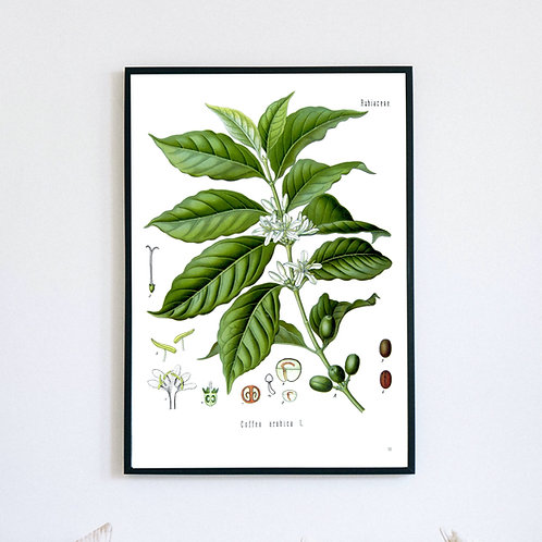 Coffee Plant Botanical Illustration