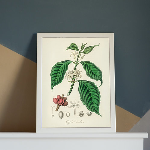 Vintage Botanical Coffee Plant Illustration