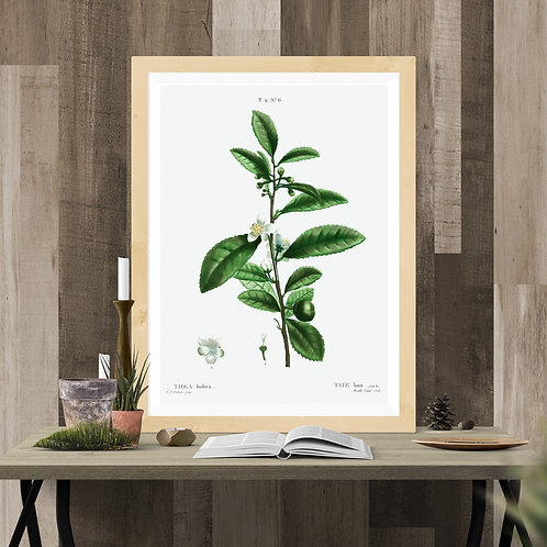 Tea Plant Botanical Illustration