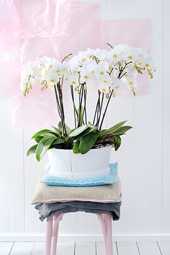 Phalenopsis Orchids in Ceramic