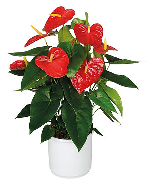 Anthurium Joll Pink in Ceramic