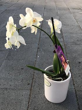 Mini Orchids in Ceramic