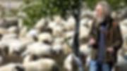 Bargerveen - Wollegras en schapen.png