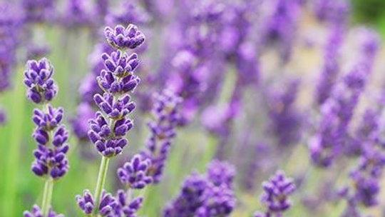 Fresh or Dried Lavender Flowers