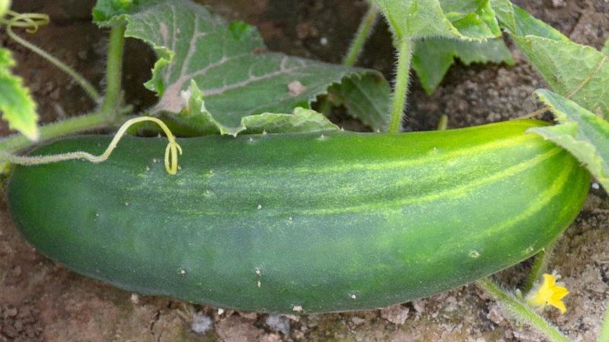 Straight 8's Cucumbers