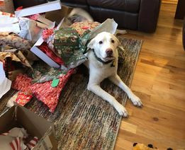 Yellow lab with wraping paper.jpg