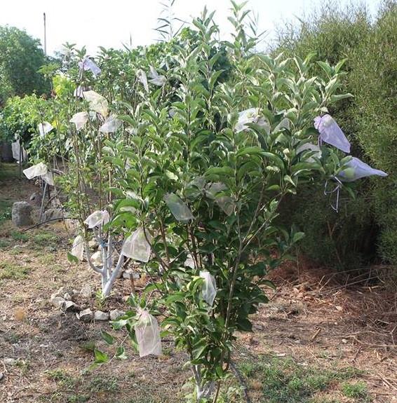 עטיפת  את הפירות בשקיות אורגנזה
