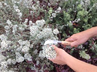 הכנת מרקחות מרפא מהגינה מאזוב מצוי - ליקוט עם אופינל קטיף