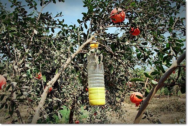 מלכודת זבוב הפירות לתלות בצל העצים