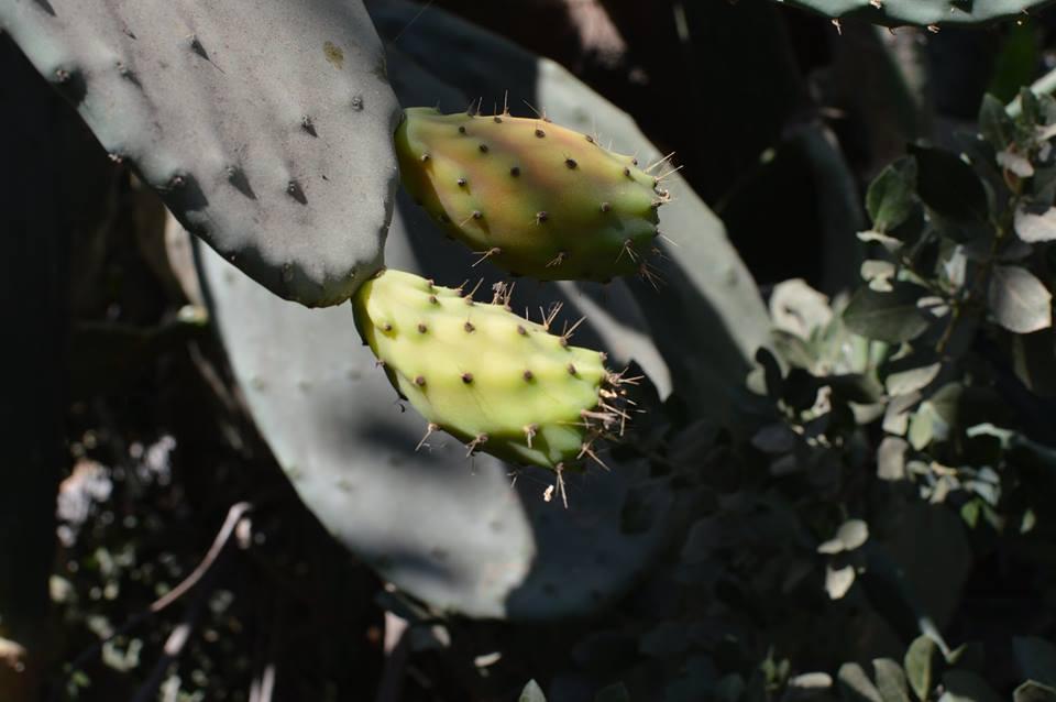 צמח הצבר