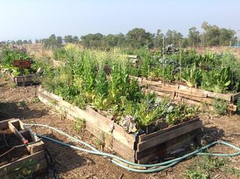 הכנת גינת ירקות לקיץ, ואולרי אופינל לגינה