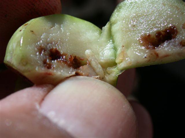 זבוב הפירות בזית