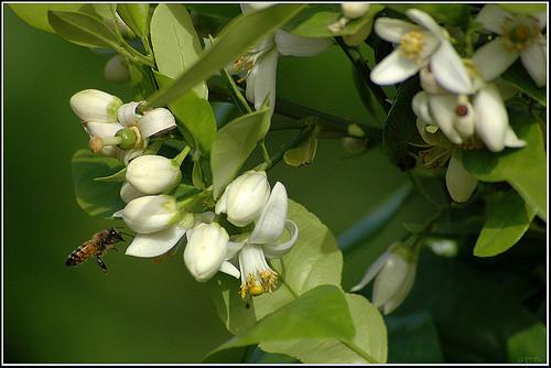 פרחי הדרים