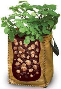 גידול תפוח אדמה  בשק