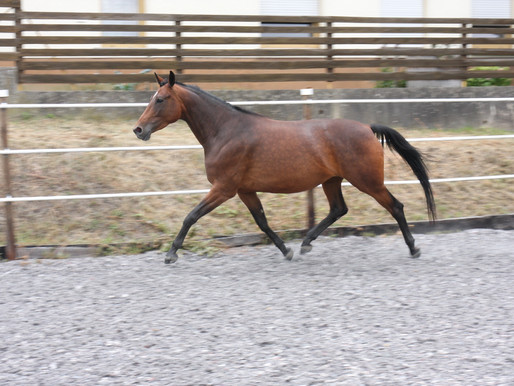 Verkaufspferde-Angebot: Von Ivanhoe tragende 7-jährige Zuchtstute