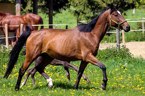 Verkaufspferde-Angebot: PrSt. Haskara v. Askar AA u. d. Hymna II v. Bellheim