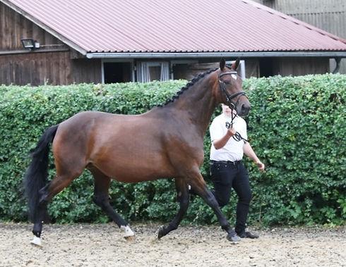 trakehner-stute-7jahre-167-cm-brauner-dr