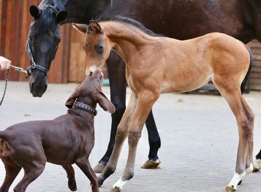 Züchterfibel - Pferdezucht: Sie wächst und wächst..... alle Informationen auf einen Blick!!!