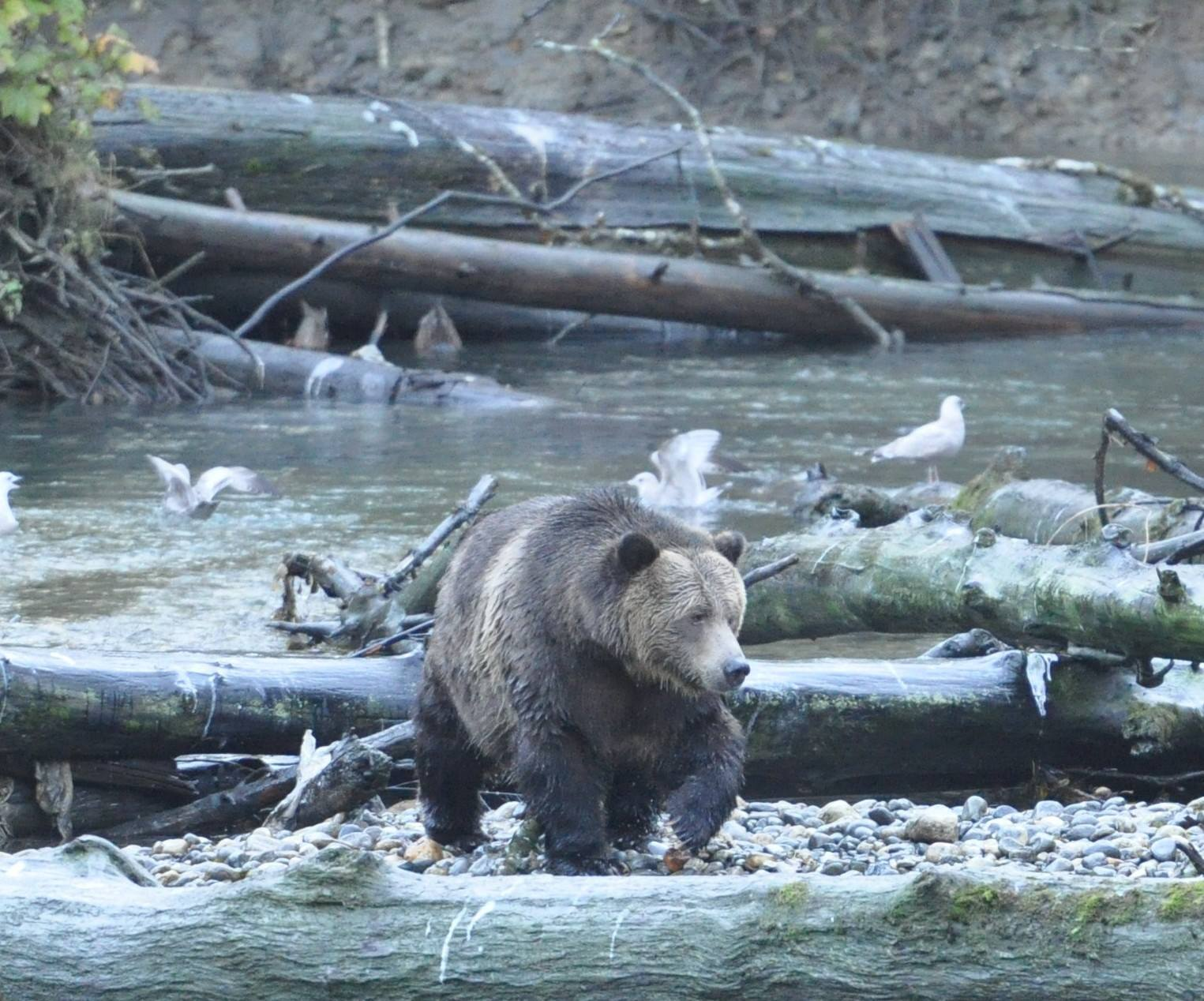 Toba Grizzly