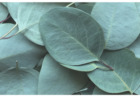 Mes 6 utilisations de l'huile essentielle d'eucalyptus radiata