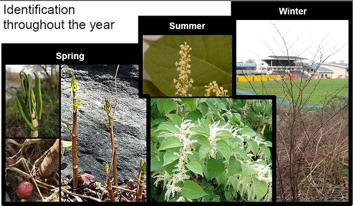 Japanese Knotweed identification round the year, Knotweed in winter, spring, Autumn and Summer