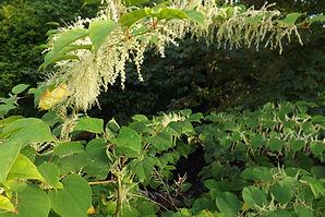 Japanese Knotweed plant Flower