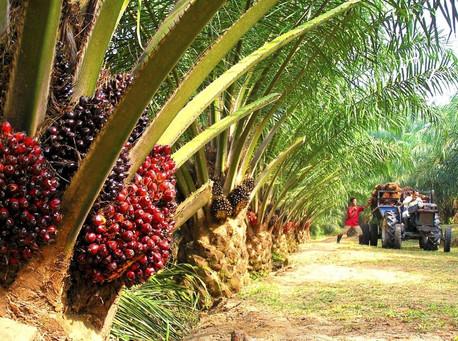 Palm-Nut.jpg