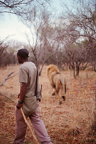Walking-With-Lions-In-South-Africa-SHESO