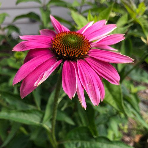 Cone Flower - Digital Image