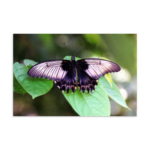 """Butterfly 6""""x4"""" Postcard"""