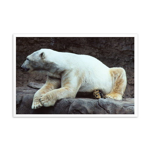 Polar Bear - Standard Postcard