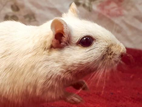 pp, a Red Eyed Schimmel gerbil